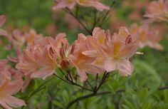Kuvahaun tulos haulle rhododendron puisto Plants, Plant, Planets