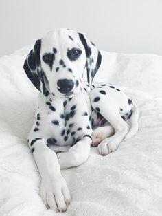 Dalmatianpuppy @viljodalmatian