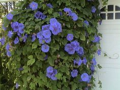 morning glories | Morning Glory | Flickr - Photo Sharing!