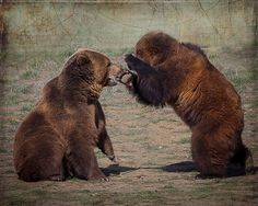"""""""Tag You're It!"""" by Steven Reed. Wonderful image - great detail - their fur just shines! #grizzlybears #grizzlies #wildlifephotography"""