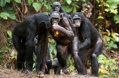 Bonobo 'Peep' Calls Echo Human Baby Speech Development : Discovery News