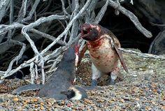 La trágica historia de los pinguinos infieles