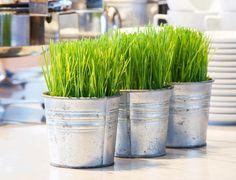 growing-cat-grass-indoors-21