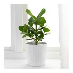CLUSIA Potplant - IKEA - 3,49