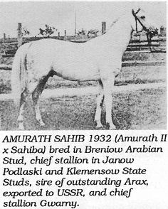 Amurath-Sahib (35 Amurath II x Sahiba)
