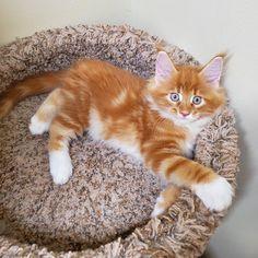 Kittens And Puppies, Baby Kittens, Kittens Cutest, Cats And Kittens, Orange And White Cat, White Cats, Cute Little Kittens, Cute Baby Cats, Pretty Cats