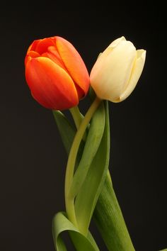 Purple Tulips, Tulips Flowers, Exotic Flowers, Pretty Flowers, Beautiful Flowers Wallpapers, Beautiful Roses, Tulips Garden, Planting Flowers, Flower Phone Wallpaper