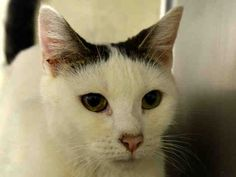 KILLED BY ACC - 09/11/15 - MISMI - #A1049687 - - Manhattan *** TO BE DESTROYED 09/11/15 *** EXOTIC MISMI HAS THE VOLUNTEERS TALKING…