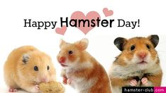Wow I am so happy to know Hamster Day is a thing! April 12th! Celebrate it with your hams!