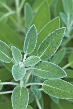 Sage Leaf  | Fresh Herbs | Herbalism | Nature Photography