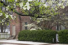 Colonial Williamsburg. Dogwood blossoms and example of brick with clay/tan trim.