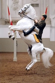 Beautiful courbette by this Spanish Riding School Lippizzan stallion.