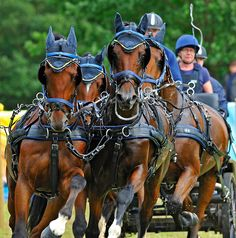 Carriage driving championship, obstacle course, held at Royal Windsor Great Park 2010. Michael Huggan Photography.