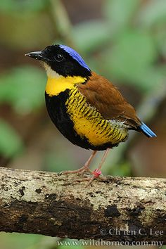 The Gurney's Pitta (Pitta gurneyi) is found in Thailand and Myanmar. Thought to be nearly extinct in the wild, a discovery of healthy populations in Myanmar, seemed to put the bird out of danger. However, the Gurney's Pitta in Myanmar remains threatened by habitat destruction and capture for the pet trade.