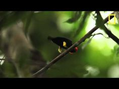 The Michael Jackson of the bird world! Fun video of a male club-winged manakin's courtship dance, from National Geographic magazine's May iPad edition.