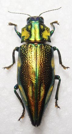 1 gennaio 2015, Indonesia est, EE, Artaneng, Yapen island, Papua, Lunghezza 33, 3 mm Structural Color, Insect Orders, Macro Pictures, Cool Insects, Beautiful Bugs, Silhouette Art, Weird Creatures, Art Themes, Beautiful Creatures