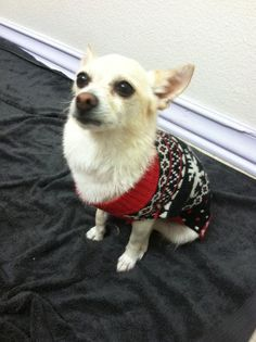 Lily is a 7-year-old female medium-haired Chihuahua mix.  She is healthy, smart and incredibly sweet.  She would do best in a home with no small children or large dogs.  Lily is fixed and up to date on all of her shots.  She is also housetrained and very well behaved. http://www.angelsinfurdogrescue.com/our-angels