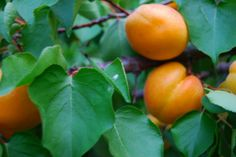 An apricot tree looks better and produces more fruit when it's properly pruned. Take a look at some apricot pruning tips in this article and learn how to prune your tree with confidence.