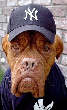 #Dogue #De #Bordeaux, strike three your out!!