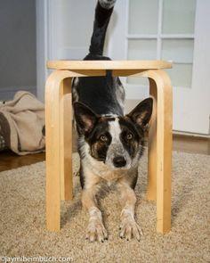 Indoor dog tricks: Under over and through