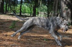 Irish Wolfhound - running through the woods