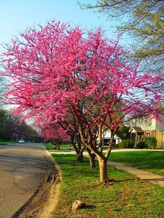 Redbud tree Want to plant a row of this in the backyard at the tree line wit tulips and daffodils Trees And Shrubs, Flowering Trees, Trees To Plant, Redbud Trees, Outdoor Landscaping, Outdoor Plants, Outdoor Gardens, Eastern Redbud, Blooming Trees