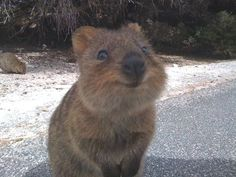 Wombat...I kinda want one! So cute!