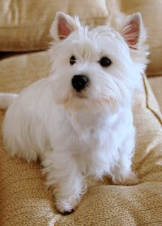"Westie Julep: My Daddy Won ""Best in Breed"""