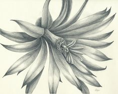 Pencil Drawings   Little Cactus Flower Original Pencil Drawing by rockplanet on Etsy