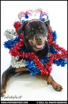 A patriotic dog. Love this photo? Re-pin it! This is an original work produced by PhotosByFeist, www.photosbyfeist.com we encourage sharing digitally.