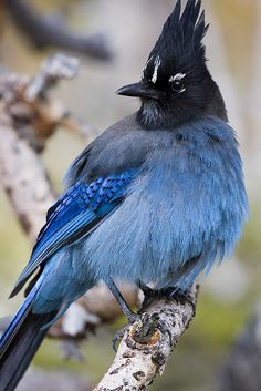 Steller's Jay can be found on the western side of America, closely related to blue jays.  I got to see some in California last year.