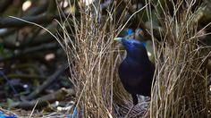 Satin bowerbird in Bunya Mountains National Park, Queensland (© Martin Willis/Minden Pictures)