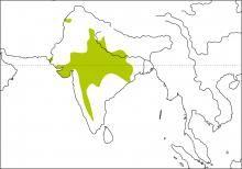 Indian Bushlark (Mirafra erythroptera)