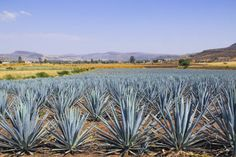 Going to Mexico? You'll have to visit the town of Tequila. Learn more about what this town has to offer, and seize the opportunity to learn how traditional tequila is made.
