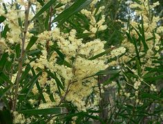 Acacia sophorae. Coast wattle.shrub to 2-3 metres.Flowering is in late winter and spring. suited to a wide range of soil types provided they are not waterlogged. full sun or light shade. Seeds edible and taste like peas. Cooked when green and roasted in pods. Flowers can be eaten. Often added to fritters.
