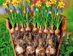 Blumenzwiebeln richtig pflanzen, zum Beispiel in Schichten                                                                                                                                                                                 Mehr