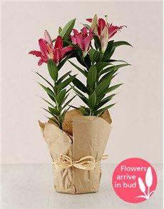 plants: Stargazer Li