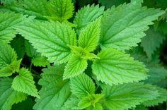 Stinging Nettle Plant 50 Seeds - Herbal Tea or Deterent Herbal Remedies, Home Remedies, Natural Remedies, Allergy Remedies, Kinds Of Diseases, Best Edibles, Medicinal Herbs, Ayurveda, Perennials
