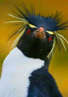 There are 3 sub-species these being; Southern rockhopper penguin, Eudyptes (chrysocome) chrysocome, Eastern rockhopper penguin, Eudyptes (chrysocome) filholi and Northern rockhopper penguin, Eudyptes (chrysocome) moseleyi Pretty Birds, Beautiful Birds, Animals Beautiful, Sea Birds, Wild Birds, Bird Pictures, Animal Pictures, Animals And Pets, Cute Animals