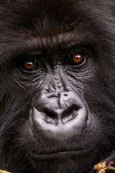 Africa | 'Thoughts' Mountain Gorilla, Rwanda. | © Nelis Wolmarans
