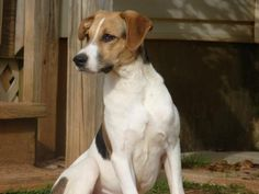 Meet Jackson, an adoptable Treeing Walker Coonhound looking for a forever home. If you're looking for a new pet to adopt or want information on how to get involved with adoptable pets, Petfinder.com is a great resource.