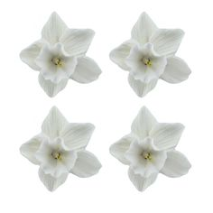 Daffodil, White, 36 Count by Chef Alan Tetreault Miscellaneous Flower Blossoms by Chef Alan Tetreault