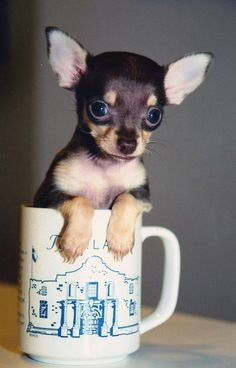 T-cup Chihuahua:  FYI there is NO SUCH THING as a TeaCup or Micro Chihuahua!!!!  Those are just marketing words.  No breeder can guarantee the adult size of their dogs.