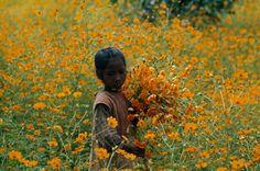 Menina colhe flores em uma região vulcânica em torno do lago Itasy, no altiplano de Madagascar, a maior ilha da África.  Fotografia: Albert Moldvay/National Geographic Creative.