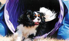 Go Baby, Go!  - - - Cavalier King Charles Spaniel clears agility tunnel