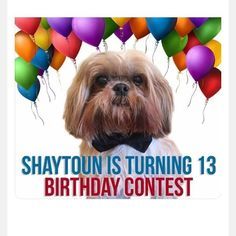 """vanity_cult :  CONTEST TIME Our friend Shaytoun is turning 13!  Please celebrate and show/tag us your best """"Party Scene"""" photos.  Enter """"This is my entry for #shaytounis13 birthday contest hosted by  @shaytoun_the_shihtzu and pick 3 other hosts. I am from (your city and country). Also below tag 3 friends that might like to join. -  Multiple entries and international are ok.  There are 13 hosts, over 13 sponsors and 13 winners.  Totaling about 1 Million in followers. Contest dates May…"""