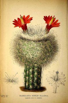 Mammillaria senilis Lodd. ex Salm-Dyck, La Belgique horticole, journal des jardins et des vergers, vol. 24: t. 3 (1874)