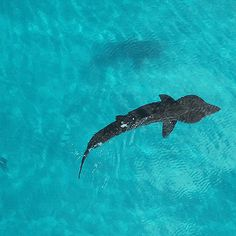 """gentlesharks: """"Drone footage of a Basking shark in clear Scottish waters """""""
