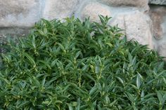 Low Vanilla Plant (Sarcococca hookeriana humilis) is an almost no-maintenance groundcover for a shady spot. It's evergreen, drought-tolerant & needs no pruning. Plant it is a shallow bed on the north side of your house. Sun Garden, Shade Garden, Garden Plants, Small Evergreen Shrubs, Trees And Shrubs, Shade Evergreen, Landscape Design, Garden Design, Vanilla Plant