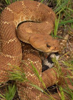 Crotalus ruber - Red diamond rattlesnake